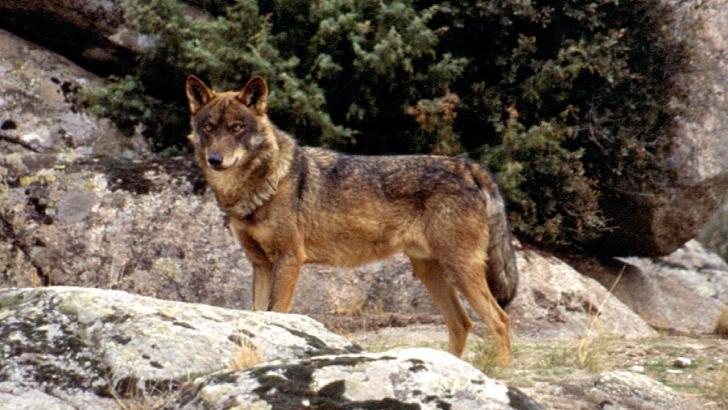 Las organizaciones ecologistas exigen un cambio de modelo de gestión para el lobo al sur delDuero